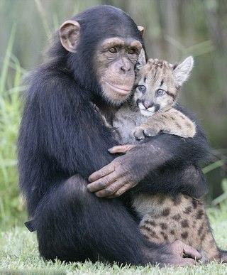 Шимпанзе Аньяна, ухаживающая за детенышами больших кошек. Когда в зоопарке при университете появилась осиротевшая Сьерра, детеныш пумы, Аньяна быстро нашла к ней подход и четко поняла свои обязанности сиделки: кормление из бутылочки, расчесывание, игры.