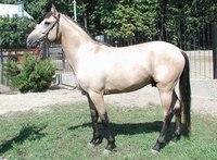 Имеет паспорт спортивной лошади. мер., светло-буланый, Рожден в 1999г. в...
