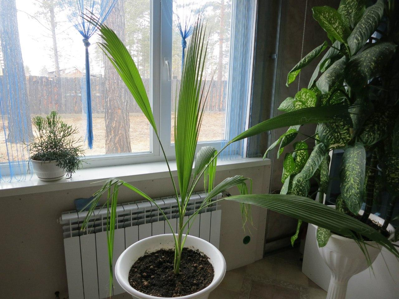 Пальма вашингтония в домашних условиях выращивание из семян 40