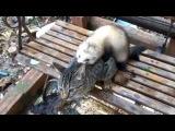 Спаривание кошки с хорьком!