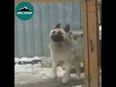 Настоящая кавказская овчарка