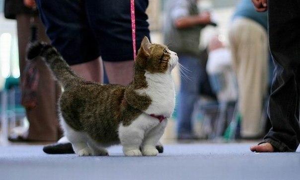 Манчкин - порода кошек с непривычно короткими лапками.
