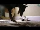 Доберман играет с котёнком