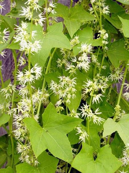 эхиноцистис это однолетнее декоративное растение-лиана семейства тыквенных. побеги могут достигать длины 10 м. цветет с середины июня мелкими белыми цветами с приятным медовым ароматом. отличный