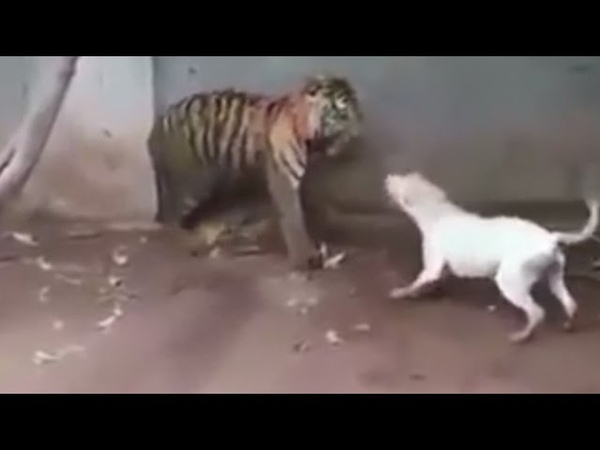 ANJING VS HARIMAU Full Vidio