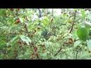 Кизил: обрезка и формировка чашей - урожай всегда.