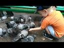 Мы кормим голубей в парке 28 Панфиловцев. VID 20160621 My kormim golubei