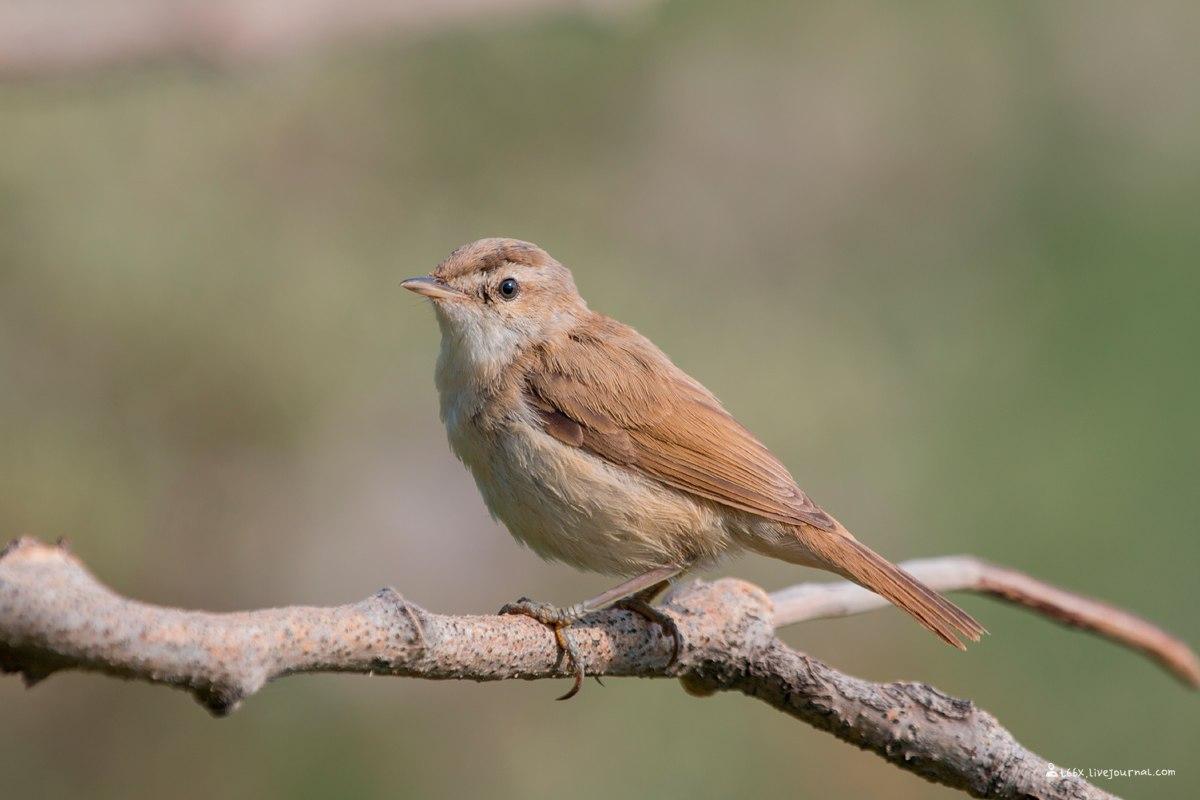 птицы Челябинска, индийская камышевка