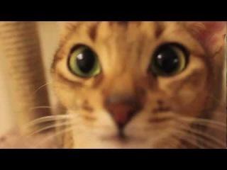 Abyssinian cat / Абиссинская Кошка
