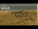 5 Iconic Animals of Yellowstone Nat Geo Wild