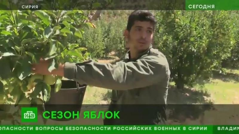 Репортаж НТВ о сборе урожая в яблоневых садах на границе с Ливаном к северу от п. Сергая.