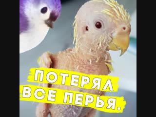 Этот попугай потерял все перья!