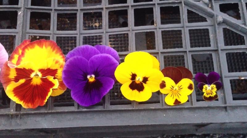 Виолы. Размер цветка по сериям