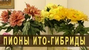 Пионы ИТО-гибриды. Редкие сорта. Фестиваль пионов Пионы Северной Столицы 2018 Санкт-Петербург