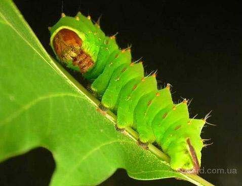 Помимо того, что эти гусеницы успешно прикидываются листочками, они также прибегают и к жёстким мерам самозащиты...