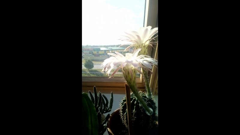 вот кактус и зацвел