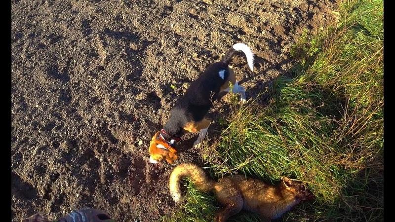 Охота 202 с гончими, сработали по лисе