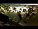 АкваМир - Нерест вишнёвого барбуса . Показатели ph 6,7 , темп. воды в нерестовике 27 гра. цел., умеренный свет , слабая подача а