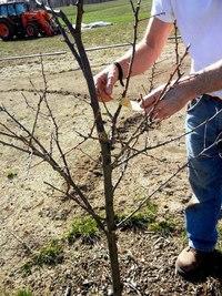 обрезка молодых яблонь.