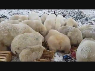 На Новой Земле ввели режим ЧС из-за нашествия белых медведей. В каждой стране есть свои голуби