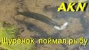 Щурёнок заглатывает рыбу