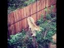 Садгород леопард