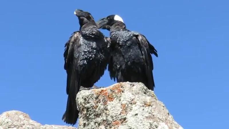 Thick billed raven on top Ras Dejen (4543mtr), Ethiopia