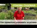 Голова садовая - Как правильно ухаживать за Розами