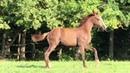Продажа лошадей арабской породы конефермы Эквилайн тел WhatsApp 79883400208 ЛАНГЕДОК 2018г р