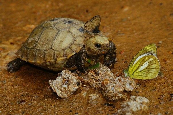 Indotestudo elongata, Индийская желтоголовая черепаха