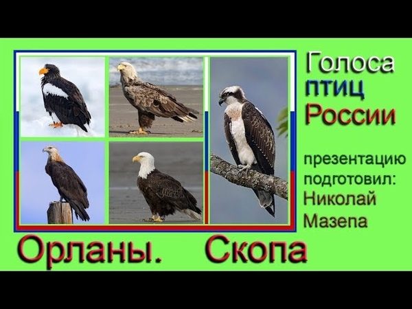 Орланы. Скопа. Голоса птиц России