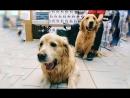 Голден Ретриверы Ева и Марли в PetGroom