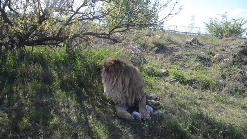 Льва Олежку накормили ,едем искать львов дальше.Тайган .Крым