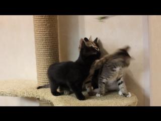 Отдаются котятки и мама-кошка