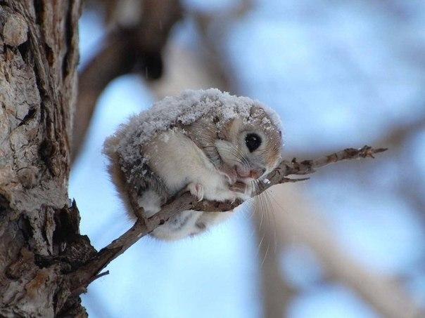 Японская белочка-летяга, Япония