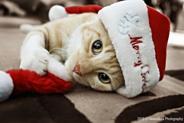 Кіт З новим роком