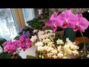 Орхидеи цветут шикарно всегда/Что делаю для этого - мой простой уход