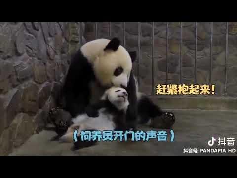 Панда - ответственный родитель Держи яблоко