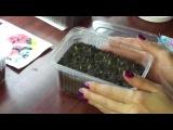 Посадка и выращивание петуний. Уход (часть 2)