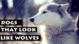 List Of Dogs That Look Like Wolves Dog Breeds