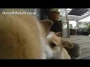 Cute corgi puppies part 4 ears flap slow motion _ コーギー 子犬 スローモーション 20130713 ( 480 X 854 ).mp4