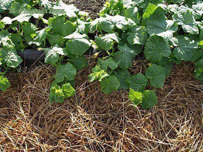 плодородная почва - это просто! сейчас для большинства людей плодородная почва это утопия. чисто потребительский подход к выращиванию растений разрушает плодородный слой почвы. большинство