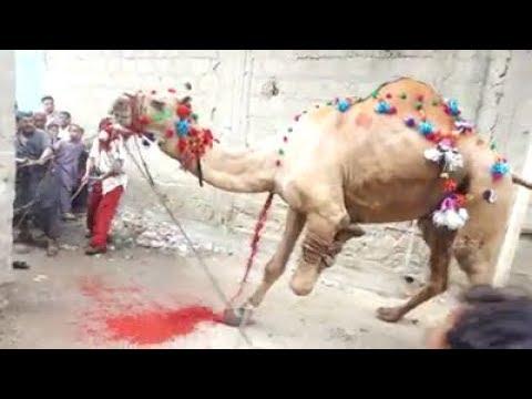 Camel Sacrifice (Qurbani) on Eid ul Azha in Pakistan 2018 | Daniyal Ali