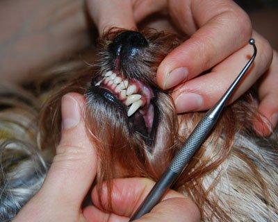 Понос у щенков при смене зубов