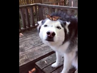 Бабочка и хаски (6 sec)