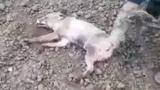 Attraper un renard par la queue, le jeter en lair, lui ass