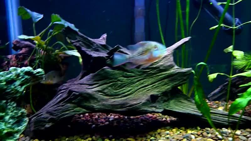 Bolivian Rams in 20 Tall Fish Tank Aquarium HD-Lumix LX3