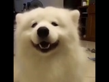 Fluffy white dog dances his ears with music