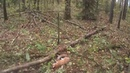 Охота на зайца Лису С гончими The hunting of the hare Fox With hounds
