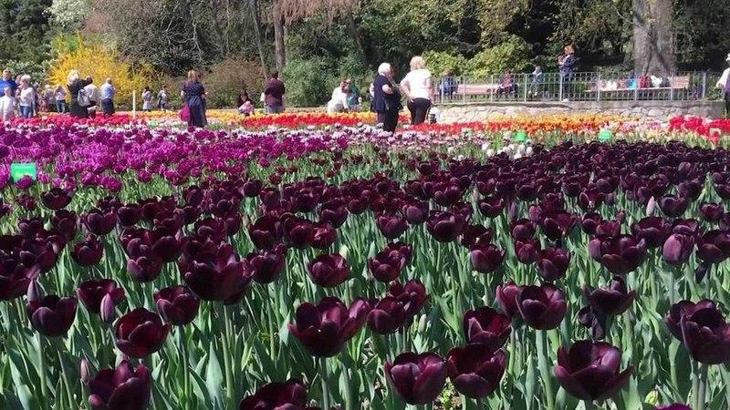 Ковер изсотен сортов тюльпанов: вКрыму начался сезон цветения